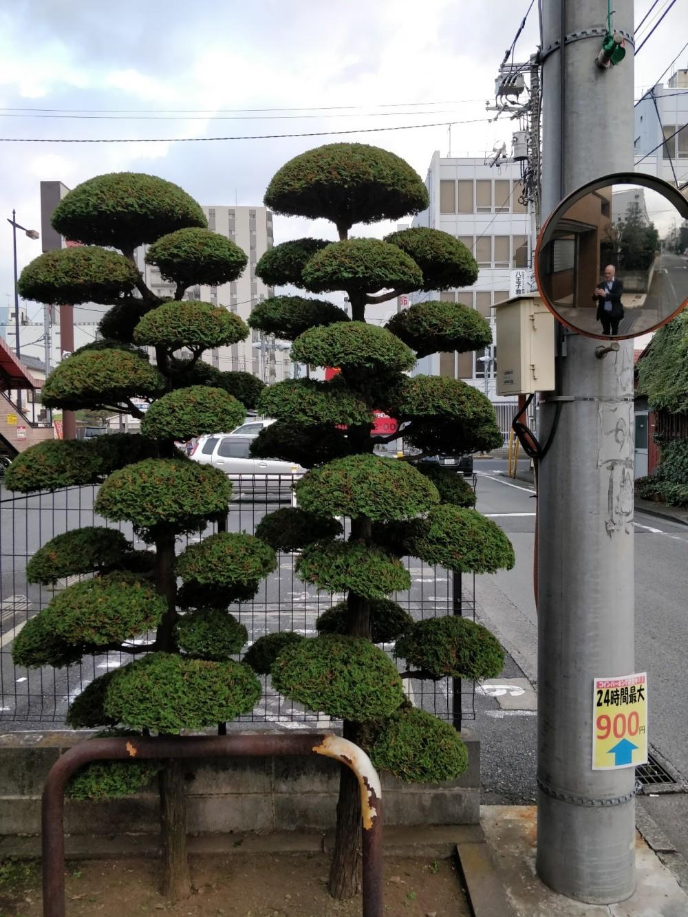 japan bushes